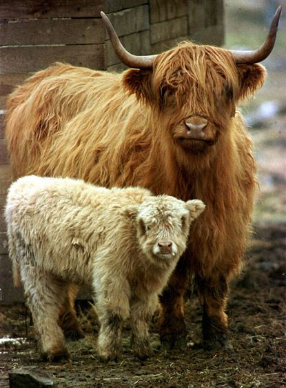 Scottish Highland Cow and her Calf - These cows are called Hairy Coos.