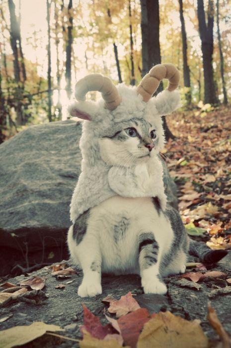 Goat Miaw.