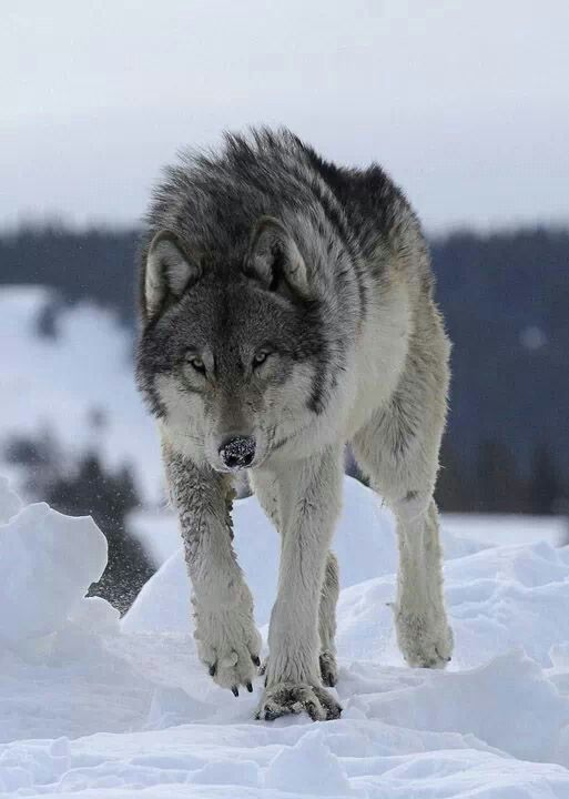 Eye of the wolf.