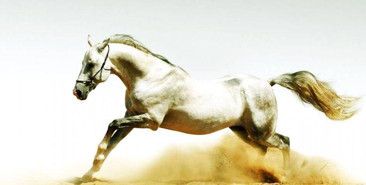 Velocità e resistenza sono le caratteristiche fondamentali per i #cavalli da corsa!   #terradicuma #equitazione