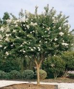 Natchez Crape Myrtle     Deciduous, Full Sun, Blooms Spring-Summer, 20'  Prune in February.