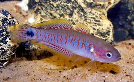 peacock goby/gudgeon Future tank Pinterest