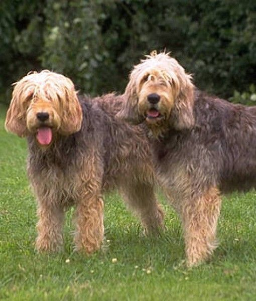 These cute, rough-coated scent hounds were developed to hunt otters in the 19th century. They were popular pets among hunters until 1978 when there was a dramatic decline in otters, which affected their breed. They are now on the list of  Vulnerable Native Breeds and are identified as endangered. There are only 1,000 Otterhounds left in the world.