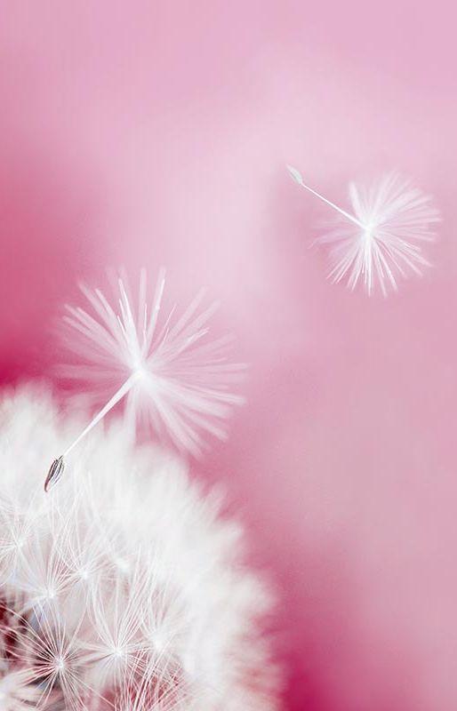 Dandelion Fluff on Pink Background
