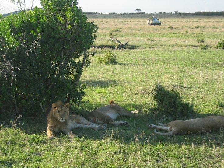 I parchi del Kenya sono attrattiva d'eccellenza del paese. Secondo le stime solo nel Parco Masai Mara vivono circa 250-300 leoni, vale a dire la più alta densità in Africa. È molto facile avvistarli, soprattutto nei tratti aperti di savana ai margini del confine con la Tanzania. Il Parco Amboseli invece, ai piedi del Kilimanjaro, è habitat naturale degli elefanti .. questa è la ragione che si chiama anche Terra dei Giganti.