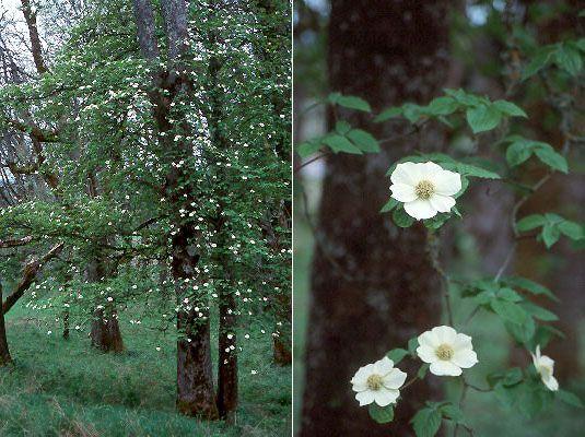 Cornus nuttallii pacific dogwood Cornaceae