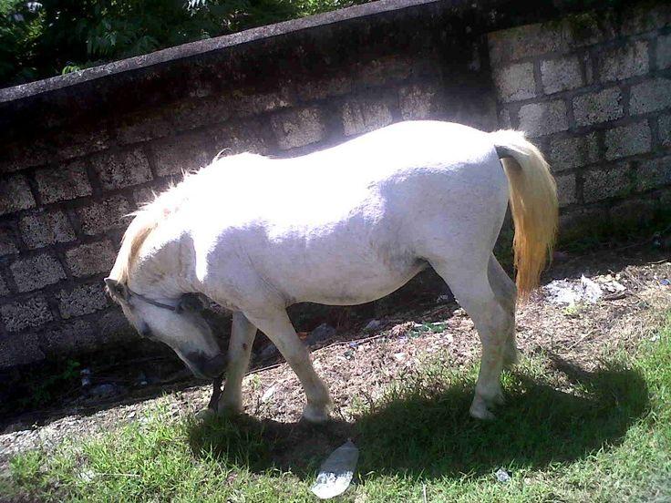 White horse, the seldom in Jayapura city-Papua-Indonesis