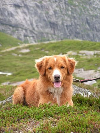 Nalle, Nova Scotia Duck Tolling Retriever