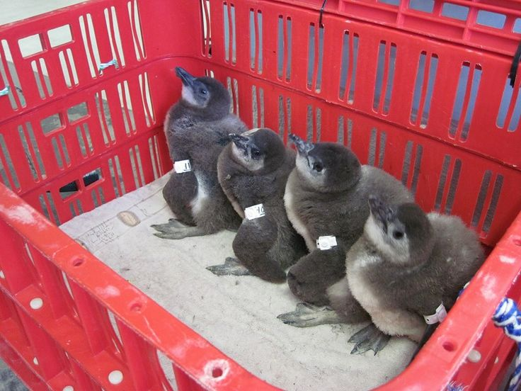 These Penguin chicks are eagerly waiting to be fed…