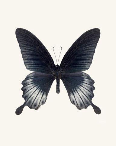 Asian Swallowtail Butterfly Photo - fine art print by Allison Trentelman - Rocky Top Studio