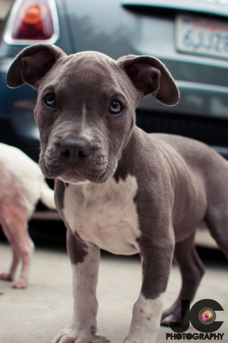 adorable pit bull puppy