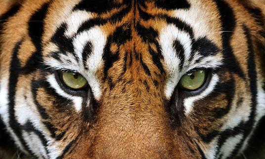 Olhos do Tigre - foto de acervo