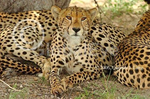 Cheetah, Acinonyx jubatus, staring. Cheetah, Acinonyx jubatus, staring, Deception Valley, Kalahari Desert, Botswana, Africa . Photograph By Quentin J Lang #WildlifePhotography