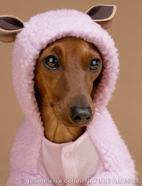 Portrait d'un Teckel portant un vêtement pour chien