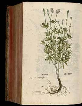 184926 Lavandula angustifolia Miller / Fuchs, L., New Kreüterbuch, t. 511 (1543)