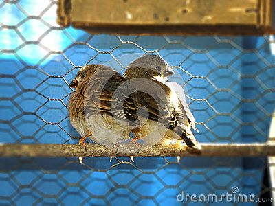 A close-up view of a pair of young fledgling Zebra Finches sunning themselves in an aviary.