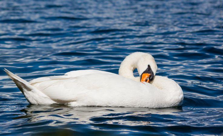 Swan2   Flickr - Photo Sharing!
