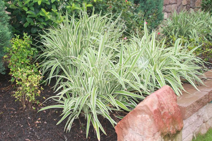 17 Best Images About Plants Or Shrubs On Pinterest