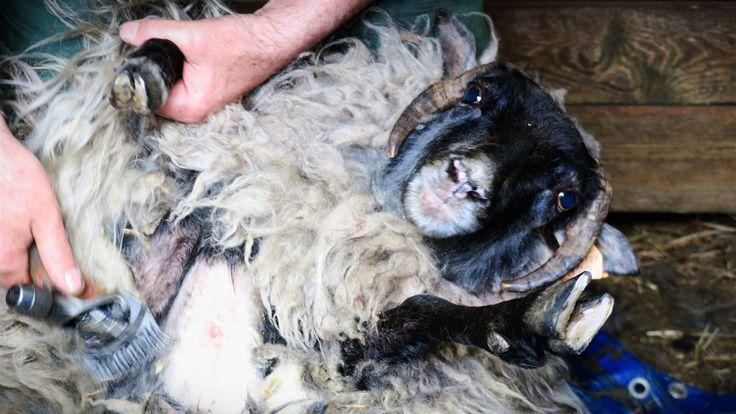 Strzyżenie owiec wrzosówek w Siedlisku na Wygonie na Mazurach