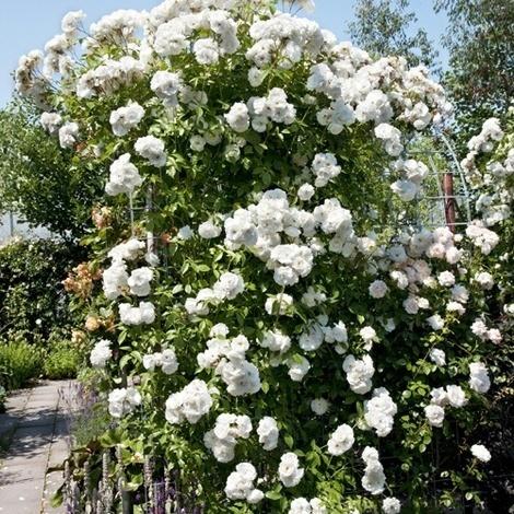 Köynnösruusu Pohjantähti. Kestävä, voimakaskasvuinen ruusu, jolla on puolikerrotut, valkoiset kukat. Climbing rose Northern star.