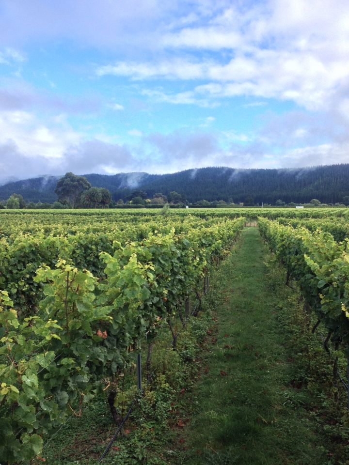 Working with Riesling in the Esk valley. Esk valley-Napier, Hawkes Bay New Zealand