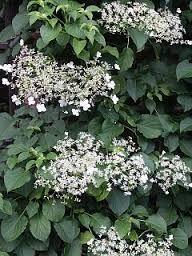 Kuvahaun tulos haulle hydrangea anomala subsp. petiolaris KÖYNNÖSHORTENSIA