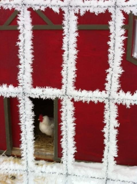 Frost on chicken coop | Living the Country Life: Animal Kingdom, Chicken Addiction, Chicken Coops, Poultry Coops, Chicken Care, Animal Chicken, Animal Inside, Country Life, Chicken Girls