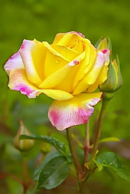 14351 best Roses collection images on Pinterest ...