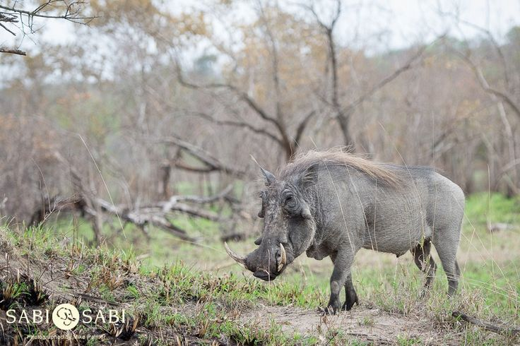 We spent some time with this large male warthog as he went about feeding and rubbing his scent onto tree trunks.