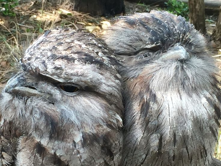 Tawny Frogmouths, Featherdale