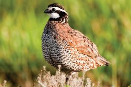 Quail Hunting Fixes: Is it your gun? Is it your dog? Is it you? Pin down your quail-hunting problems and deliver the shot to more birds. | Missouri Conservationist