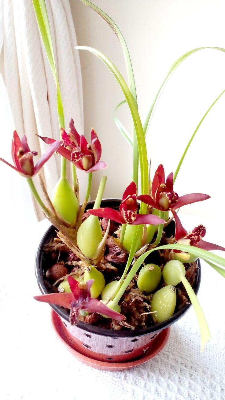 Coconut Orchid (Maxillaria tenuifolia) 23May 2016