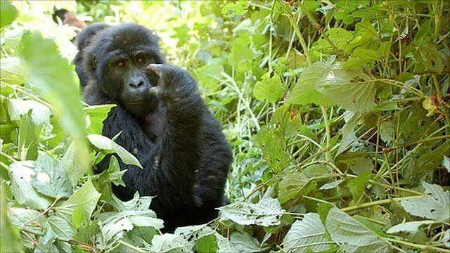 Gorilla (Portsmouth University)