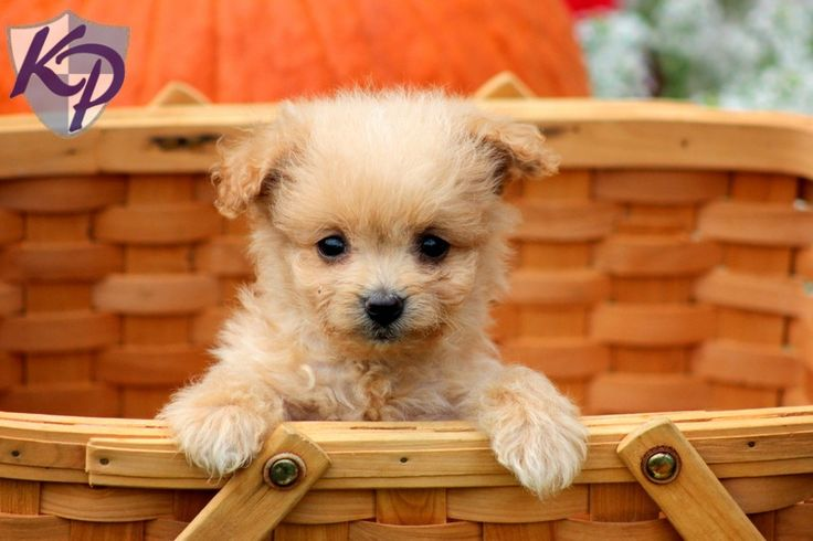 Tanner – Pomapoo Puppies for Sale in PA | Keystone Puppies