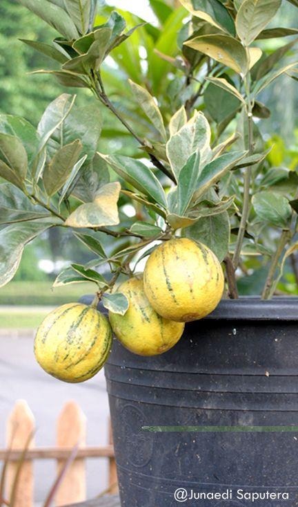 VLO Variegata Citrus (Citrus sinensis), Collection Taman Buah Mekarsari, Bogor, Jawa Barat.  http://www.hort.purdue.edu/newcrop/morton/orange.html