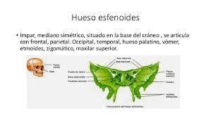 etmoides y esfenoides - Buscar con Google