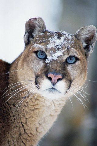 Cougar (Felis concolor), snow on face, close-up by Gail Melville Shumway Photography