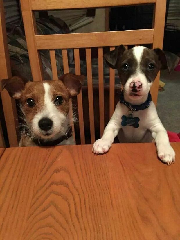 cute puppies jack russell terriers photo at table