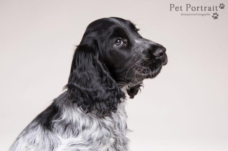 Hondenfotografie Hillegom - Fotoshoot Engelse Bulldog en Cocker Spaniel pup-3