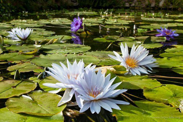 Giardini La Mortella - Piante acquatiche