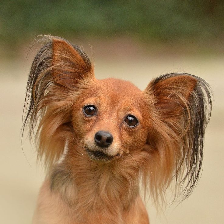 chiens-Russkiy-Toy-Petit-Chien-Russe--e2409d65-0df7-2034-edd9-6e6c83c53581.jpg (800×798)