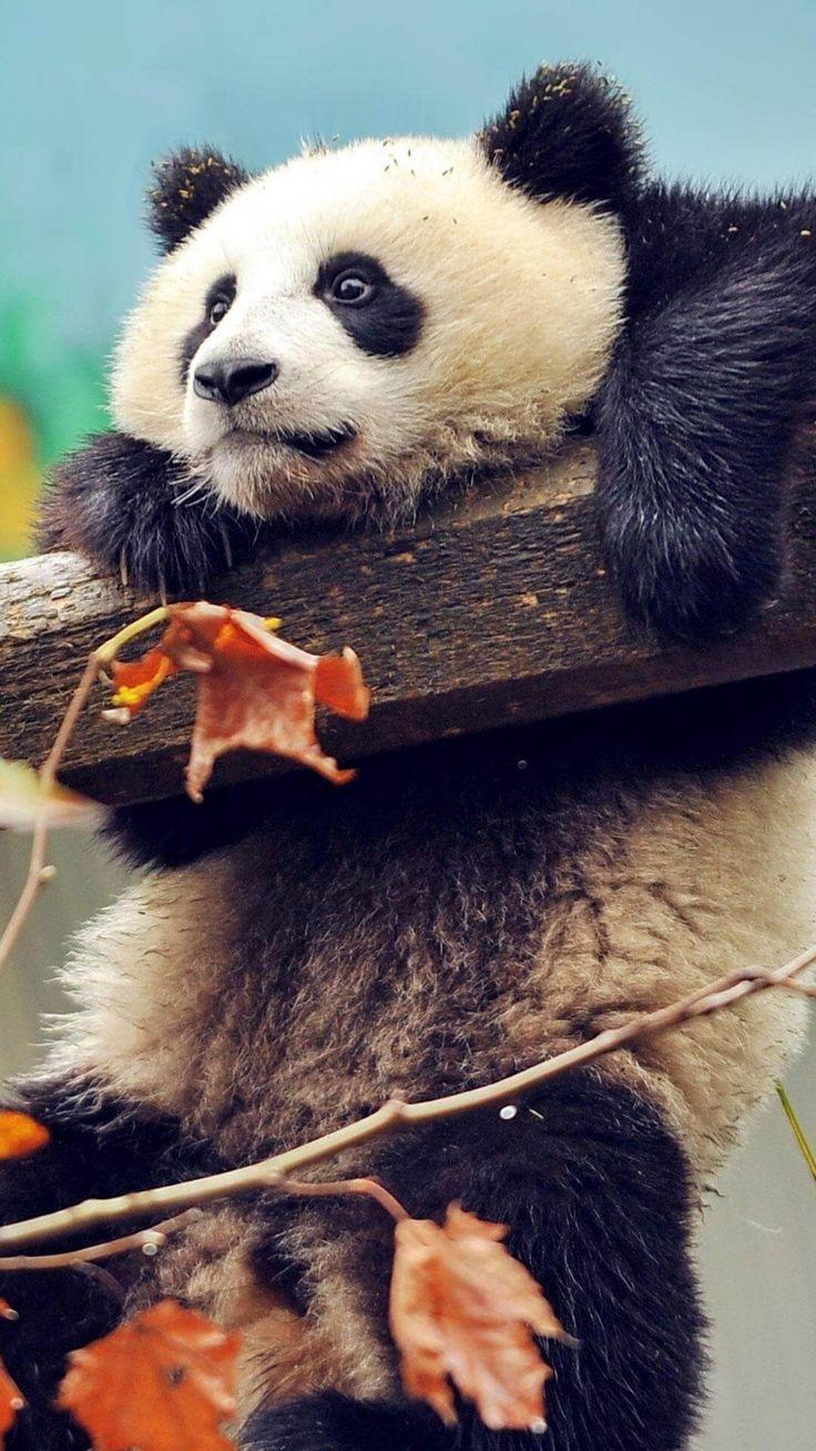 Wallpaper Iphone Cute Panda Hanging Wallpaper Iphone Hd Wallpaperiphone4k Cute Wild Animals Panda Animals Cute animals wallpaper for mobile hd