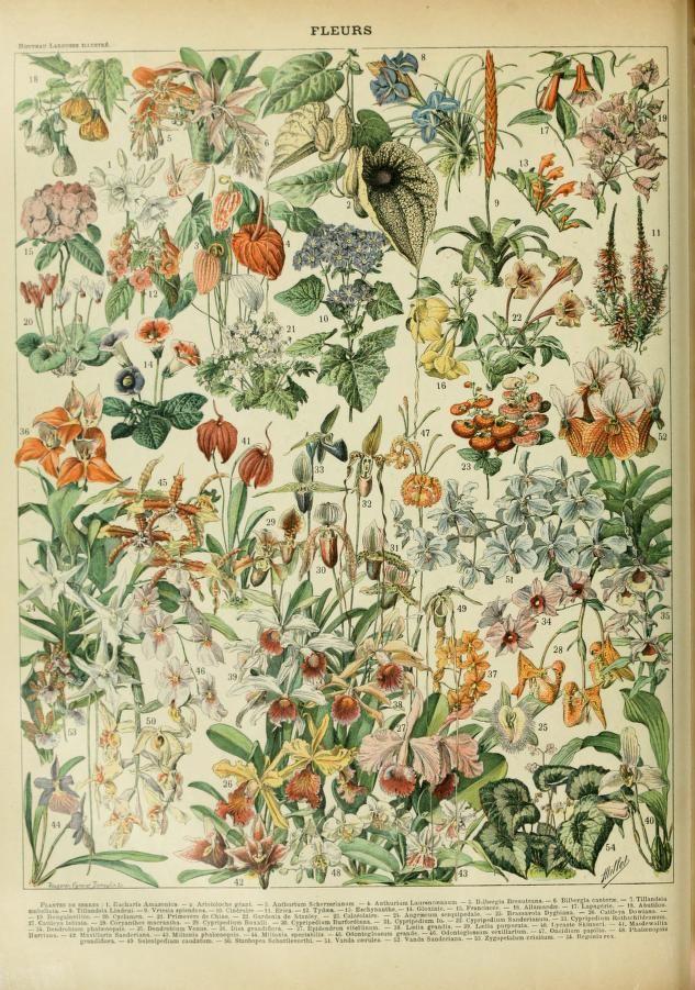Flowers, Larousse, Nouveau dictionnaire illustré, by Larousse, Pierre, 1817-1875; Augé, Claude, 1854-1924, Published 1898
