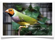 """OUR LARGE SCALE BREEDING PROGRAM IS UNDER WAY! ALL GOULDIANS ARE CURRENTLY BREEDING AND NOT FOR SALE. NEW AND EXCITING STOCK WILL BE AVAILABLE IN THE SPRING... WE'RE COMMITTED TO BREEDING TOP QUALITY LADY GOULDIAN FINCHES. WE APPRECIATE YOUR UNDERSTANDING. PLEASE FEEL FREE TO LET US KNOW, via OUR """"CONTACT US"""" PAGE, HOW MANY AND OF WHAT TYPE YOU WOULD LIKE TO ORDER. THANK YOU! The Finch Farm Team The Lady Gouldian Finch is just stunning. It's often called a """"normal"""" because the green ..."""