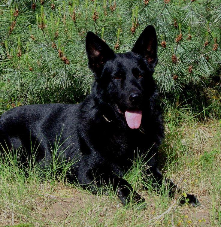 Black German Shepherd!: German Shepherd Dogs, Solid Black, Puppies Pictures, German Shepards, Black German Shepherds, Google Search, Image, German Shepherd Puppies, Animal