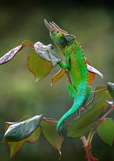 Jackson's Chameleon by BBMaui, via Flickr