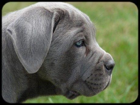 Blue Cane Corso Puppy.