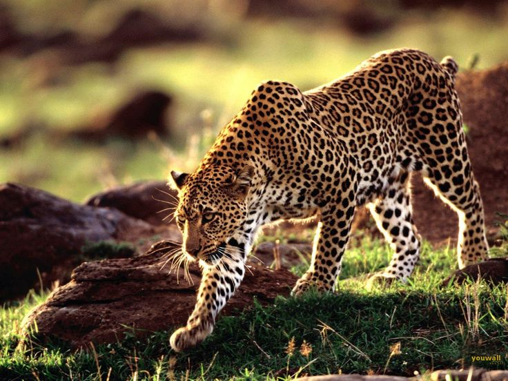 The cheetah is a Carnivorous mammal and its scientific name is ' Acinonyx jubatus'.