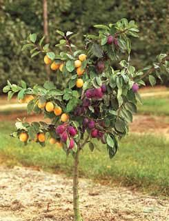 Double grafted fruit trees - red/green apples, white/yellow peach, yellow/red plums, apricots, cherries, pears, lime, mandarins.... Check out local nursery or available online (usually about $50) OR any of these fruit trees by themselves in a big container :)