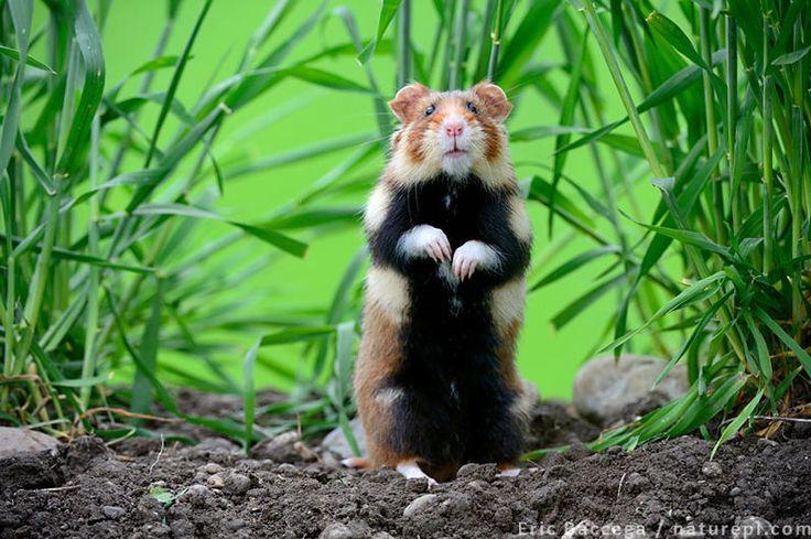 Wild hamster ©Eric Baccega